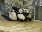 [Panda Papanda]