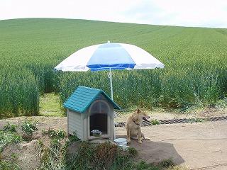 パラソル犬